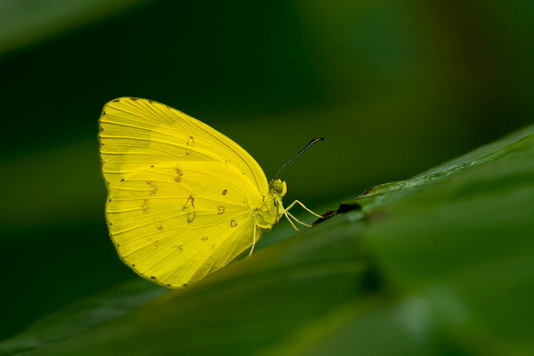 Phoebis  - De laaste keer in Artis vlogen er honderden van deze kleine gele vlindertjes rond, een prachtig gezicht.