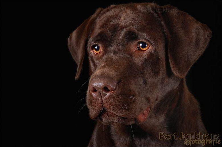 Beautiful frown - Deze bruine labrador had een prachtige frons en een mooie expressieve kop!