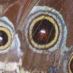 vlindervleugel Marpho
