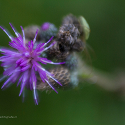 Spiderflower . . .