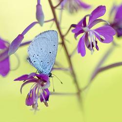 Celastrina Argiolus