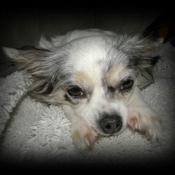Mijn Chihuahua Lisa heeft een héééééééél zwaar leven.....