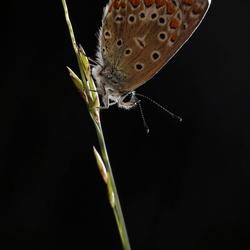 icarusblauwtje LO0A6208
