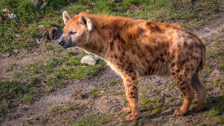 Hyena op de uitkijk - Hyena