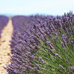 Franse lavendel velden