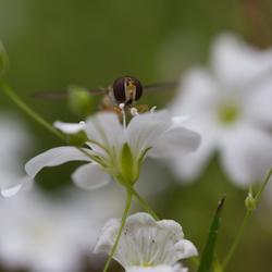 Sluipwesp op witte bloem