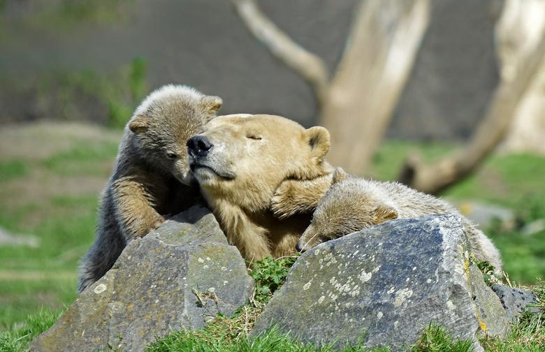 ijsbeer - dieren Liefde.