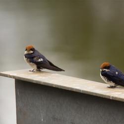 Roodkruinzwaluw (Zuid Afrika)