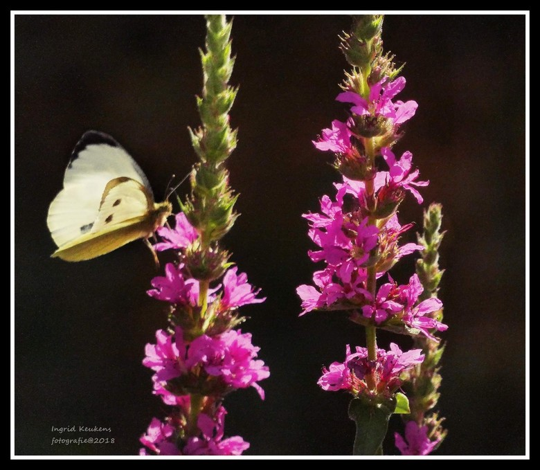 Beautiful moment. - Vlinders ik hou ervan...vooral als je ze kan vastleggen.