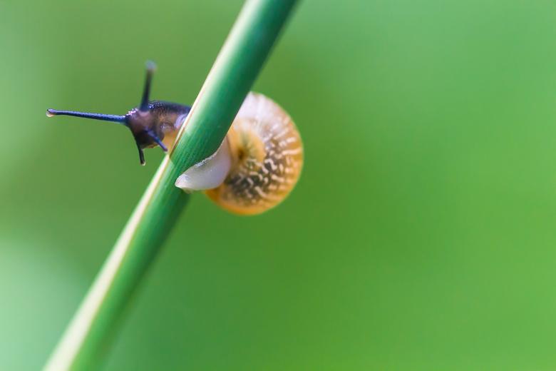 Slakkengang - Een slak op een sprietje gras.