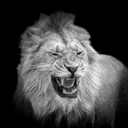 Aziatische leeuw in Blijdorp