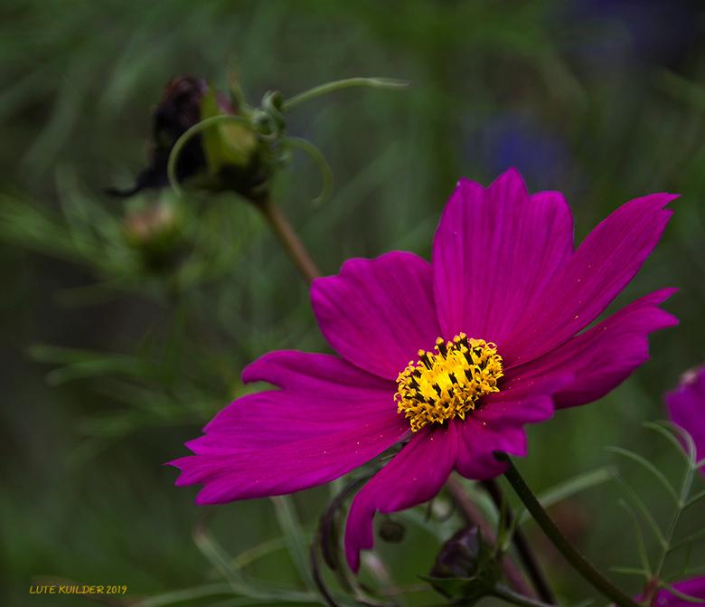 Lila Cosmea bloem  - Laatste mooie bloemen in het wild.