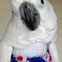 Mijn Witkuifkaketoe Maxi draagt haar Friesland-trui. 9 augustus 2017.