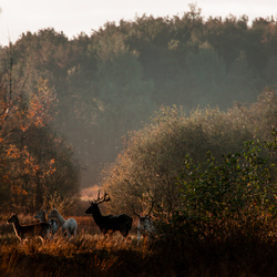 Herten in het ochtendlicht