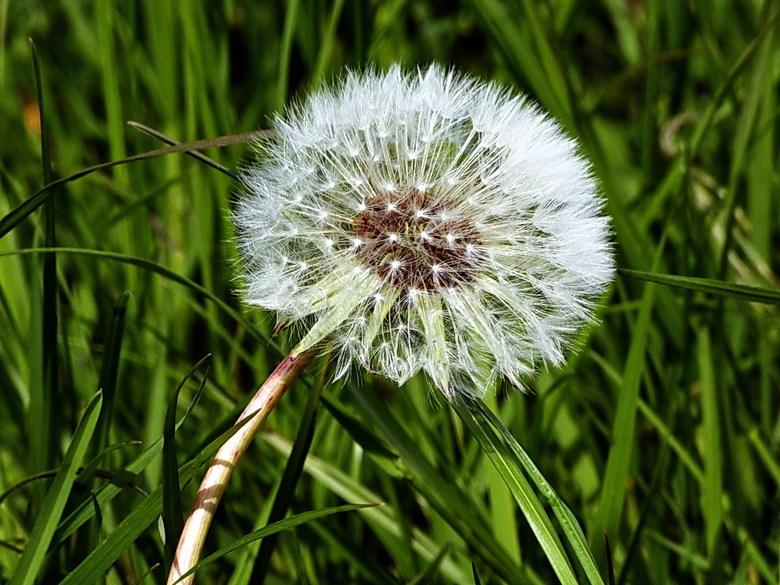 Pluizenbol 1. - Van bloem tot Pluizenbol.<br /> Zo af en toe waag ik me op het gebied van de macro fotografie, hoor wel wat jullie er van vinden.<br