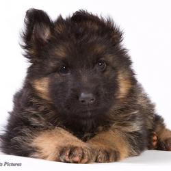 Duitse Herder pup - Ben ik niet lief?