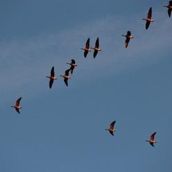 Vurige vogels