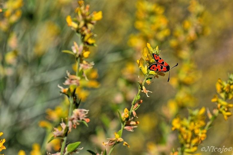 Zygaena laeta. - Zygaena laeta is een vlinder uit de familie bloeddrupjes.