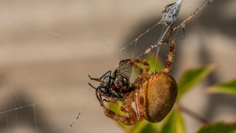 Ik heb je...... - Ik zag deze grote kruisspin een dikke vlieg in zijn web vangen en inrollen..... Het was voor de vlieg snel voorbij.