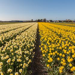 Narcissenveld Noordwijk