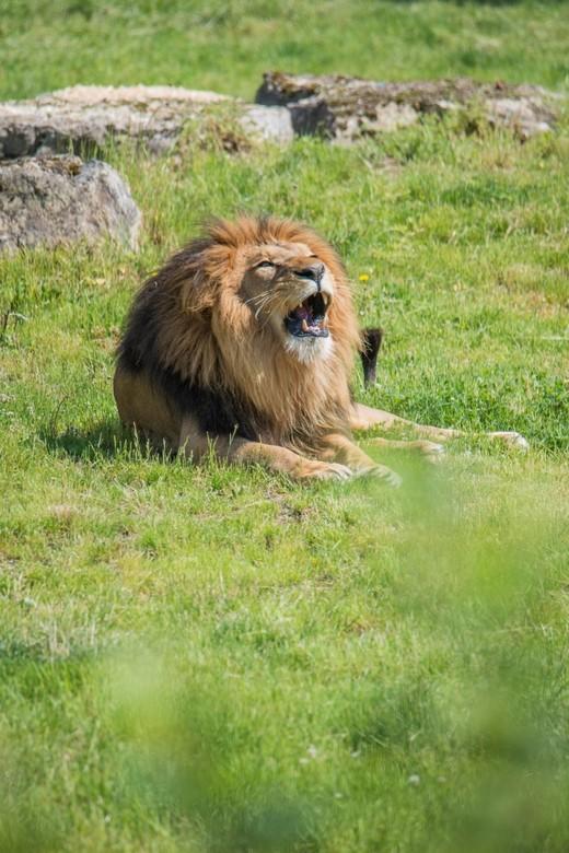 Leeuw  - Op pad naar de leeuw en deze kan je vanaf verschillende locaties fotograferen.  Je zoekt veelal een plekje waarbij je het dier tegen een mooi