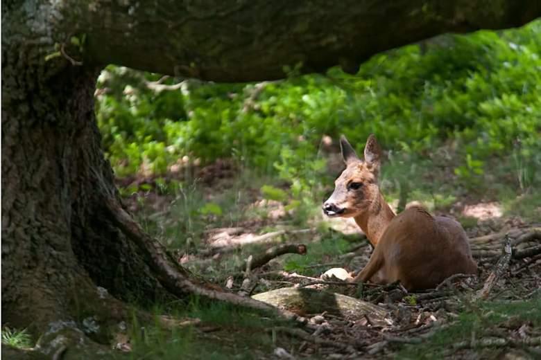 ree onder een boom - Een ree ligt midden op de dag te rusten in de schaduw van een boom.