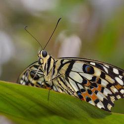 Papilio Demoleus (Limoenvlinder)