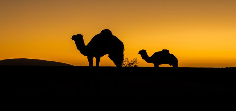 Arabian Night - Twee van 'onze' Dromedarissen die werden gebruikt voor het vervoer van bagage in de noordelijke Sahara in zuid Marokko. Een