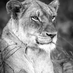 Tranquill lioness