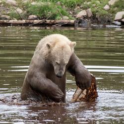 Jonge ijsbeer in het water