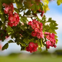 Rode Meidoorn bloesem