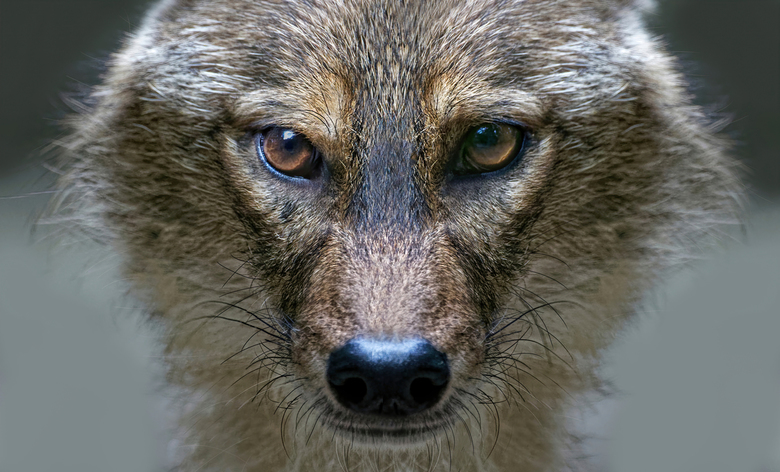 Goud Jakhals  - De goudjakhals of gewone jakhals (Canis aureus)