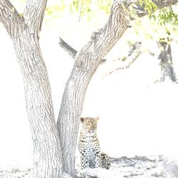 Leopaard