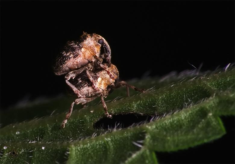 Jiha 3 - Dit zijn twee minnie snuitkevers van een paar mm groot, de naam weet ik zo ff niet. Dit is een flinke uitsnede van het orgineel gemaakt met d