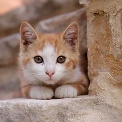 Cameleon Cat