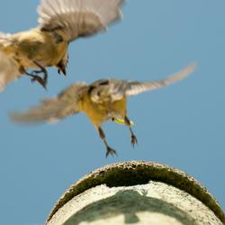 voorjaar 2 koolmeesjes naar het nest