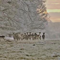 Damherten op een winterochtend