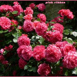 pink ribbon 13
