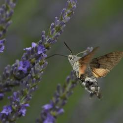Kolibrievlinder - Meekrapvlinder