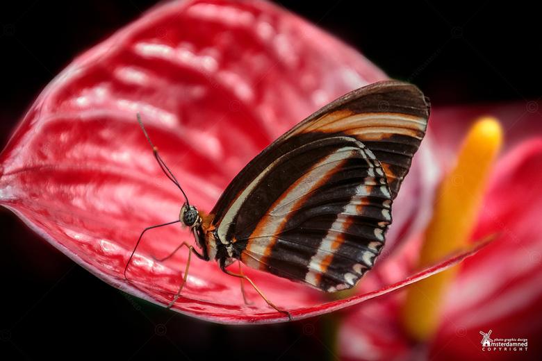 Vlinders aan de Vliet - De Dryadula phaetusa vlinder op een anturium bij Vlinders aan de Vliet in Leidschendam.