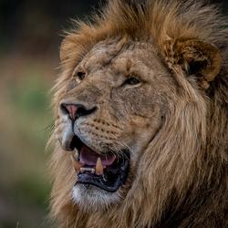 De Leeuw ...