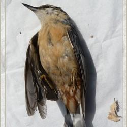 dood vogeltje