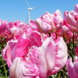 Tulpen en molen