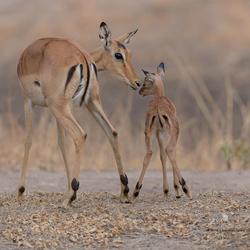 Impala met jong