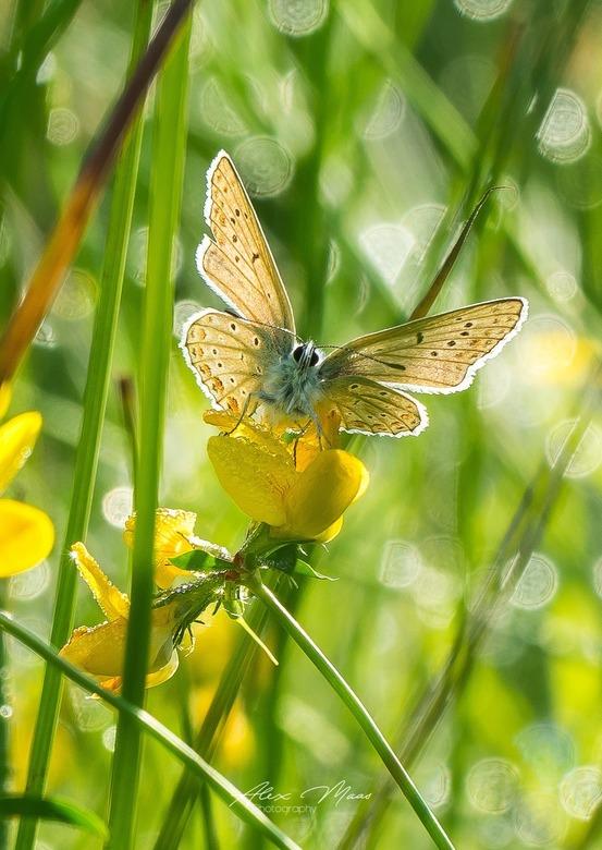 Vlinder met tegenlicht
