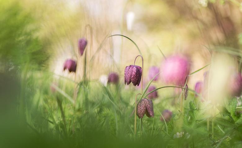 Bloemenweitje - Een veldje vol met roze en witte Kievitsbloemetjes.<br /> <br /> <br /> Bedankt voor de mooie reacties op mijn vorige upload. Even