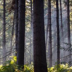 Mastbos in de mist