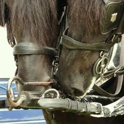 detail span Friese paarden