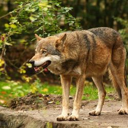 Europese Wolf 2