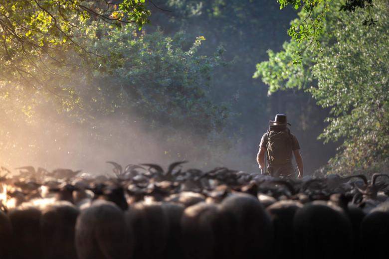 schaapsherder met kudde - mooie ontmoeting met een herder en zijn kudde op de brunssummerheide.